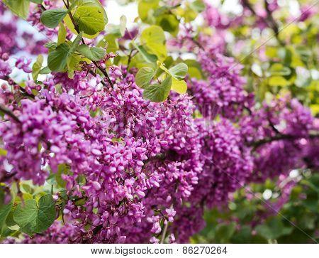Lilac flower close-up