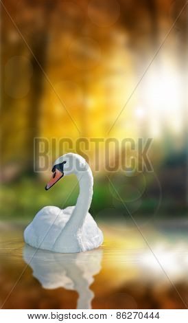 Swan With Reflection And Autumn Forest