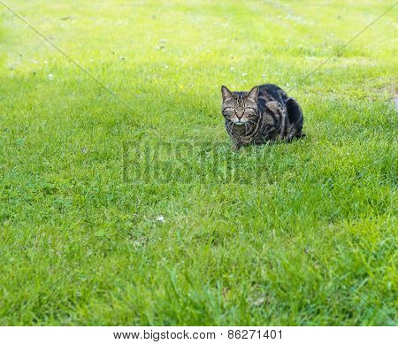 Domestic cat in a grass