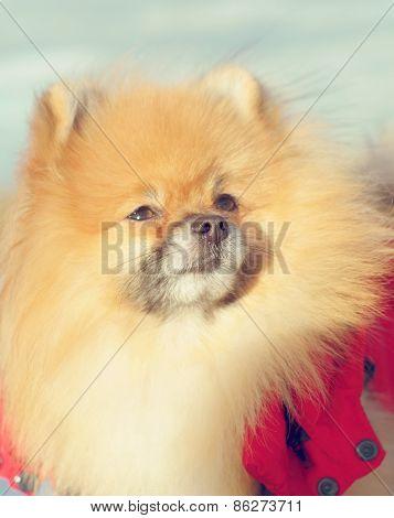 fluffy Pet