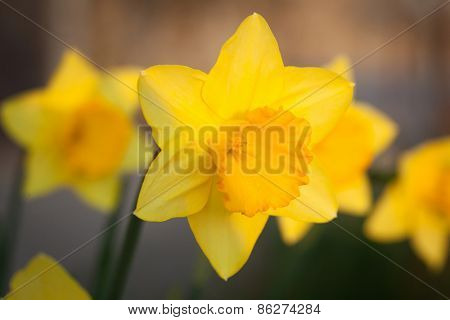 The daffodil. A bright yellow flower in nature