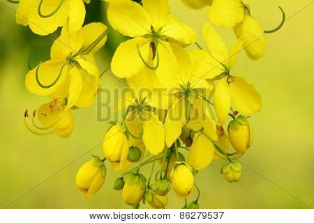 Golden Shower Flower,