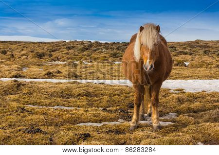 Icelandic Horse in dry glass field