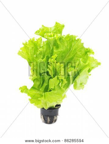 Lettuce In Pot.
