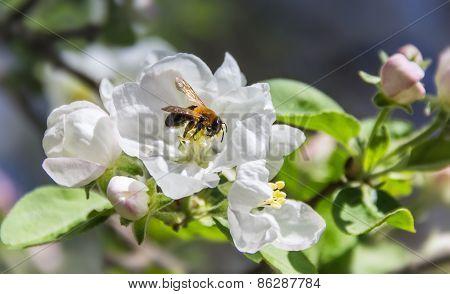 Bee On A Flower Apple