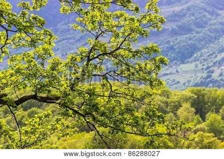 Branch Of Flowering Maple