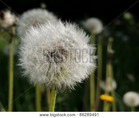 Common Dandelion Close-up