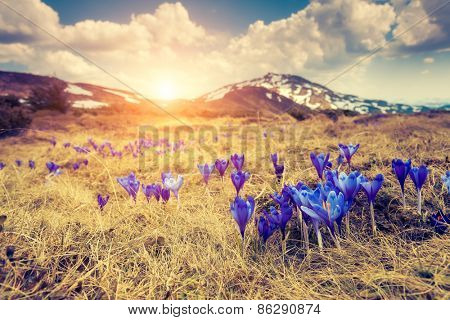 Great view of the first spring flowers on the meadow. Dramatic scene. Carpathian, Ukraine, Europe. Beauty world. Retro style, vintage soft filter. Instagram toning effect.
