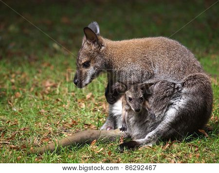 Wallaby With Baby
