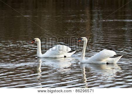 Two Beautiful White Swan
