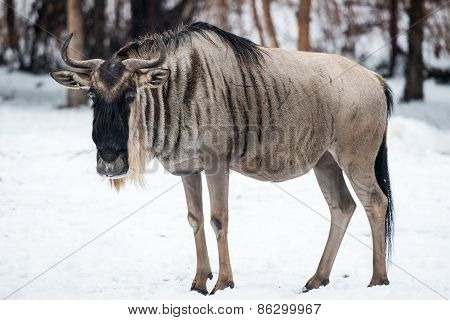 Wildebeest In Snow