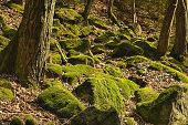 picture of decomposition  - The primeval forest with mossed boulders and foliage - JPG