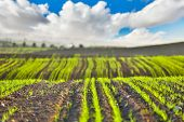 stock photo of crop  - scenery the field planted with agricultural crops  - JPG