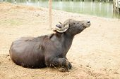 picture of cape buffalo  - This a photo of Murrah buffalo in farm - JPG