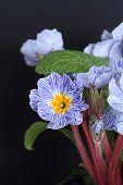 stock photo of primrose  - A Blue striped primrose on a black background - JPG