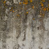 stock photo of lichenes  - Old concrete wall covered with yellow lichen as abstract background texture - JPG