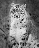 stock photo of snow-leopard  - Frontal portrait of a sitting Snow Leopard