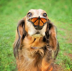 stock photo of furry animal  -  a cute dachshund at a local public park with a butterfly on his or her nose - JPG