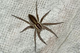 image of terrestrial animal  - spider pets animals arachnid isolated animal brown - JPG
