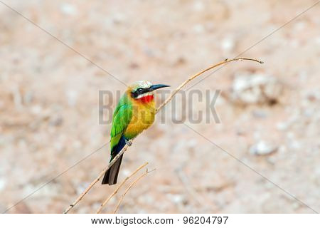 African Bee Eater At  Chobe River, Botswana
