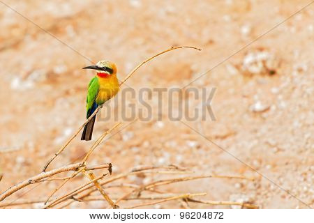 African bee eater