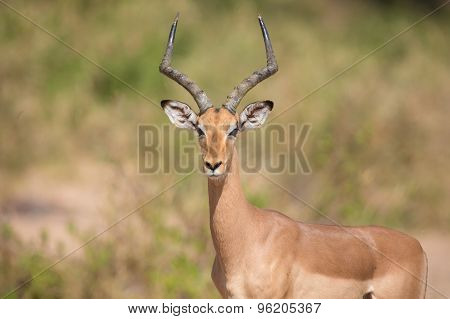 Impala Ram Looking For Possible Danger Portrait