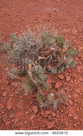 Cactus in Sedona