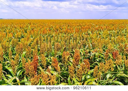 Sorghum Plants Fields In Botswana