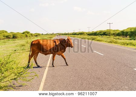 Cow On The Road In Botswana.