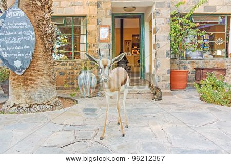 Gazelle In Front Of The Hotel And Restaurant In Helmeringhousen, Namibia.