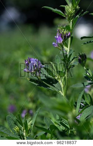 Alfalfa Blooming in a Field