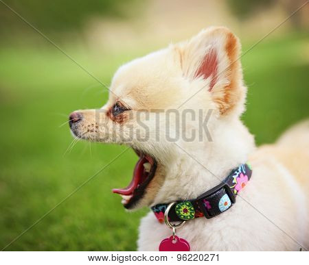 a cute pomeranian puppy dog that has been groomed barking or yawning  in a park setting with a pretty collar and tag on