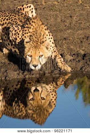 Cheetah drinking, and reflection