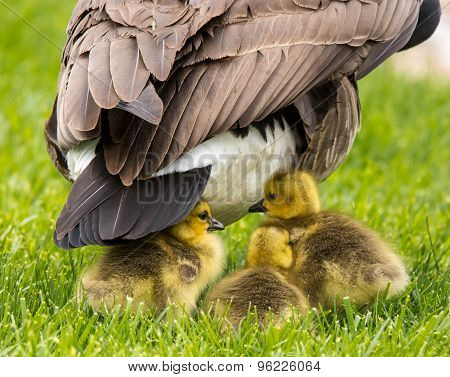 Goslings under mama's tail feathers.