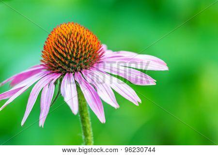 Beautiful Echinacea