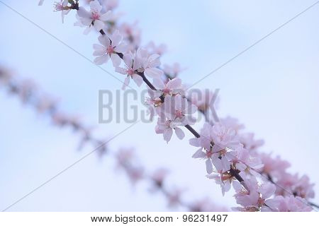 Background with the image of cherry blossoms