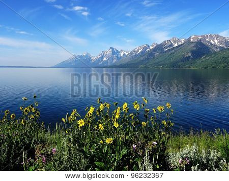 Balsamroot wildflowers in front of the Rocky Mountains and Jackson Lake