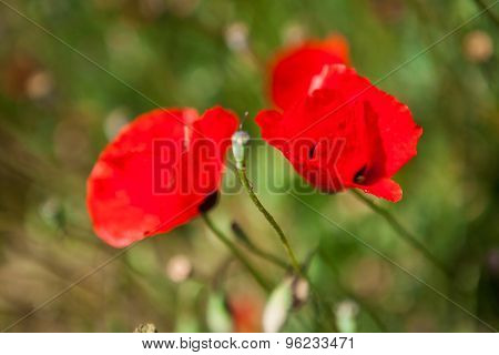 Close-up of red poppy flowers in summer field
