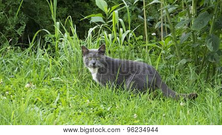 Silky Gray Cat in Grass. Green Yellow Eyes.