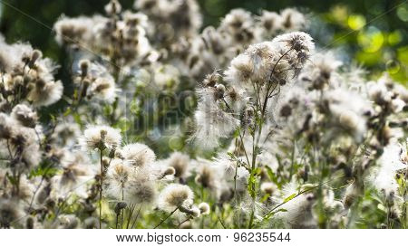 Canada Thistle in Seed. Sheer Cotton like Seed Puffs.