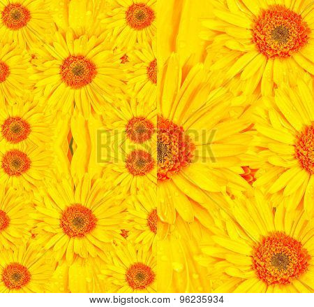 Gerbera flower colorful background