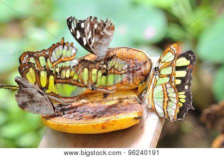 Butterflies On The Banana, Ecuador