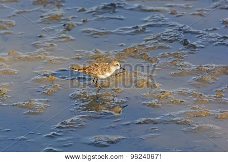 Semipalmated Sandpiper Wandering In A Salt Water Wetland