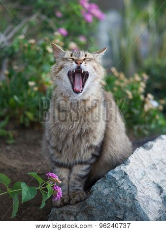 Yawn cat with mouth wide open