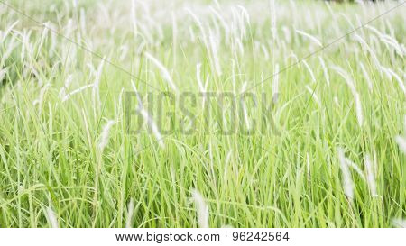 Flowers, Grass, White Grass In The Field, Obviously Not Beautiful