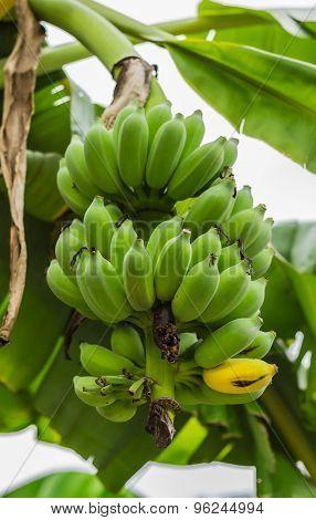 Raw Bananas On A Banana Tree In The Garden