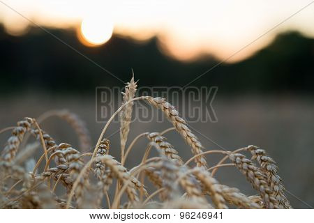 Sunset in a field with wheat.