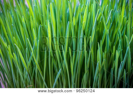 Green Wheatgrass Texture