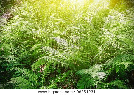 Fern Blossoming In The Woods