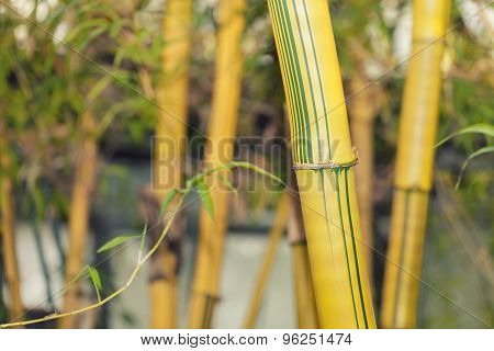 Lush bamboo tree